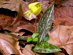 Trout Lily at Merrimac Farm