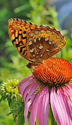 Great Spangled Fritillary on Purple Coneflower