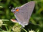 Grey Hairstreak on Narrow-leaved Mountain Mint