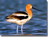 Avocet by Julia Flanagan