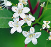 Blackhaw Virburnum