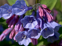 Virginia Bluebells at Merrimac Farm