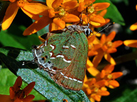Butterflyweed with Juniper Hairstreak