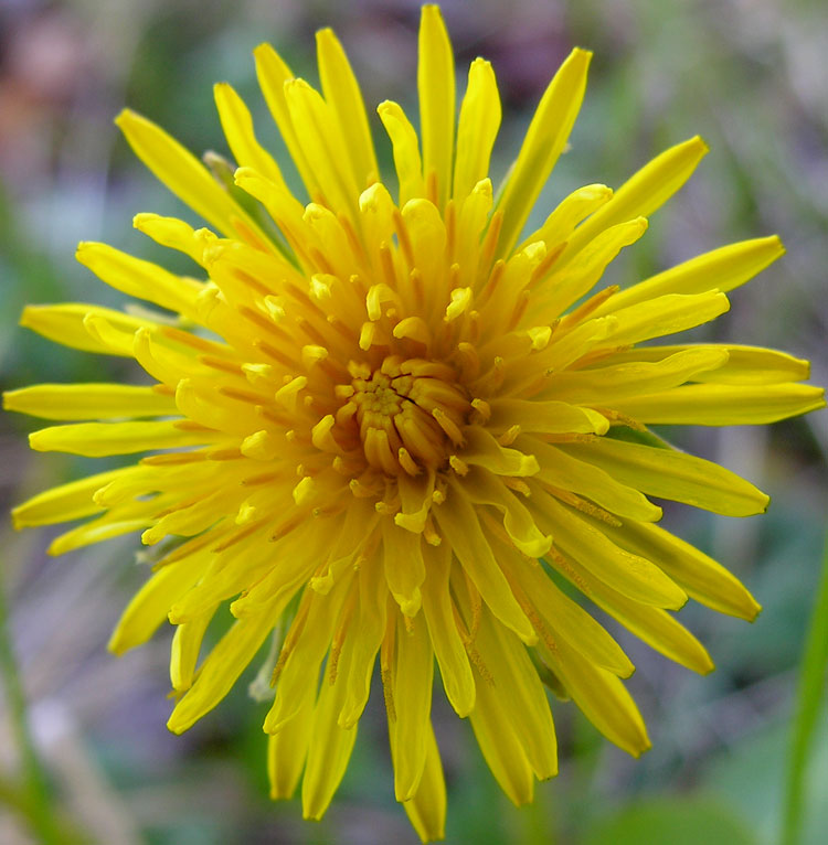 Common Dandelion