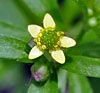 Kidney-leaf Buttercup