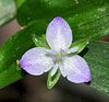 Marsh Dayflower