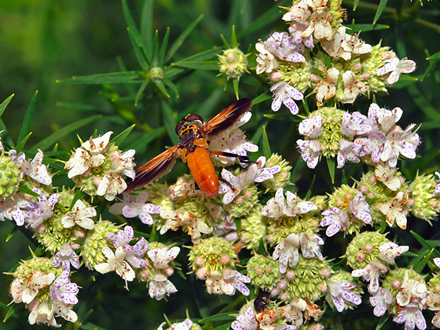 Narrow-leaf Mountain Mint with Featherleg Fly