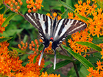 Tiger Swallowtail on Butterflyweed