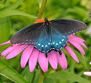 Pipevine Swallowtail on Purple Coneflower