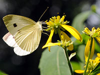 Cabbage White on Wingstem