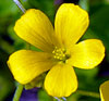 Common Yellow Woodsorrel