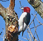 Red-headed Woodpecker by Larry Meade