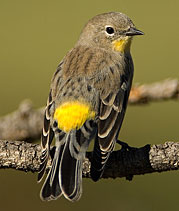 Yellow-rumped warbler by Julia Flanagan