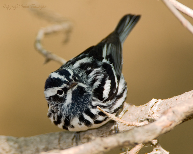 Black and White Warbler Male
