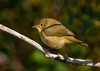 Common Yellow-throat Female