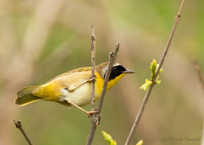 Common Yellow-throat Male