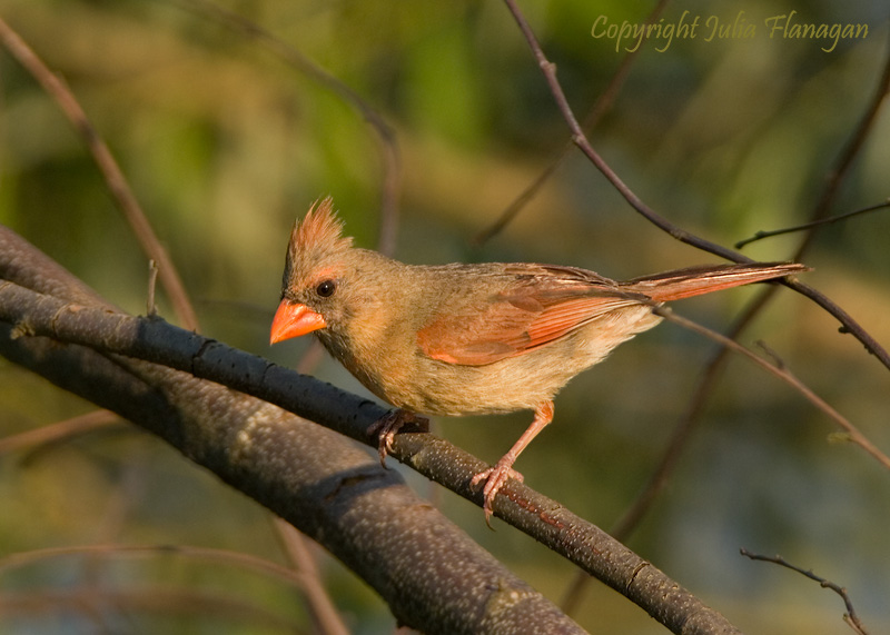 Female Nothern Cardinal