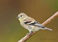 American Goldfinch, winter female