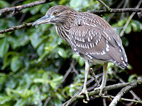 Immature Black-crowned Nigt-Heron