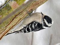 Femle Downy Woodpecker