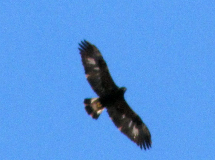 Immature Golden Eagle flying over MCB Quantico
