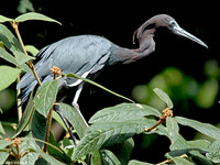 Adult Little Blue Heron