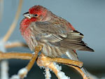 House Finch in the cold