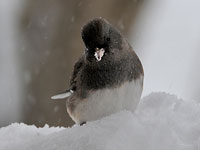 Dark-eyed Junco
