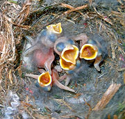 Hungry Tufted Titmice Babies