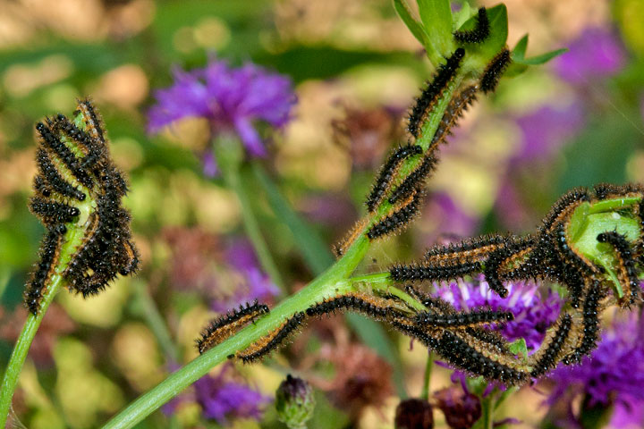 Silvery Checkerspot Caterpillars