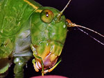 Angle-winged Katydid face