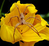 Flower with Nursery Spider