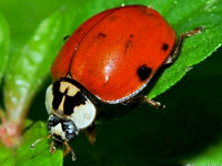 Asian Lady Bird Beetle