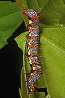 8-spotted Forester Moth Caterpillar
