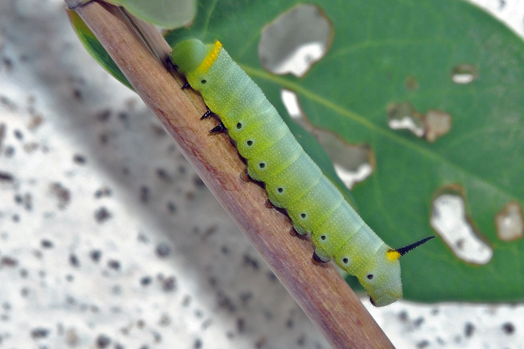 Snowberry Clearwing Moth Caterpillar