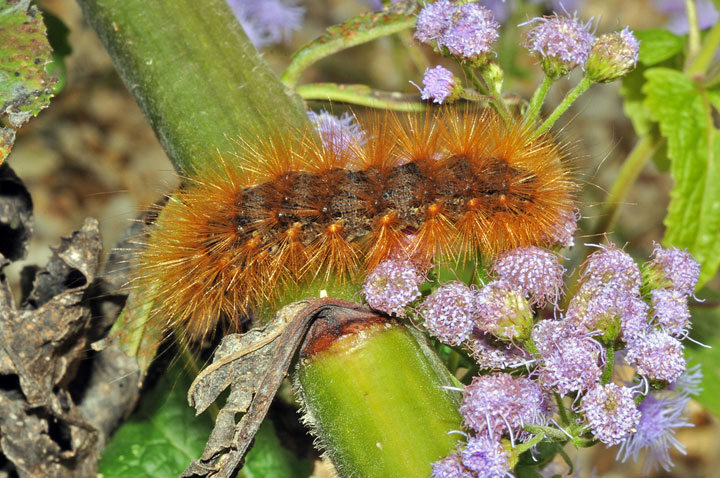 Virginian Tiger Moth (Yellow Wooly Bear)