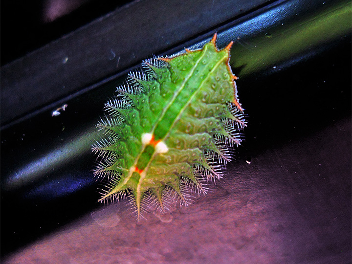 Crowned Slug Moth Caterpillar