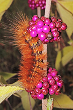 Virginia Tiger Moth Caterpillar