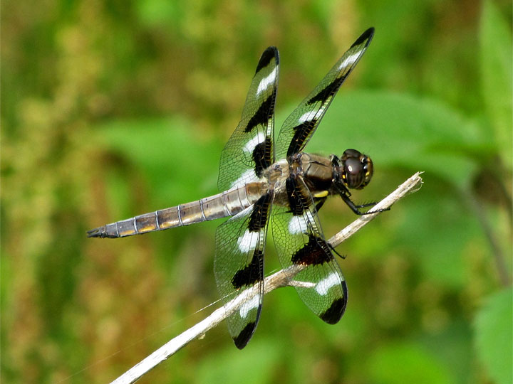 Twelve-spotted Skimmer by Gary Myers