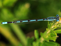 Atlantic Bluet