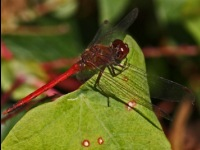 Autumn Meadowhawk