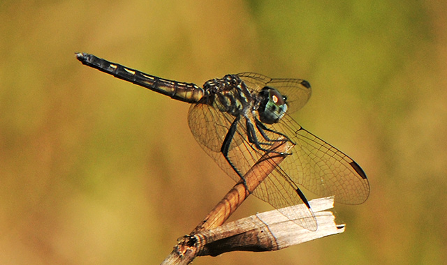 Blue Dasher, adult male