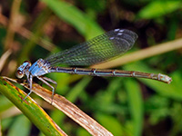 Powdered Dancer, blue-form female
