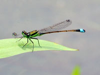 Ramuer's Forktail