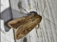 Armyworm Moth or The One-Spot