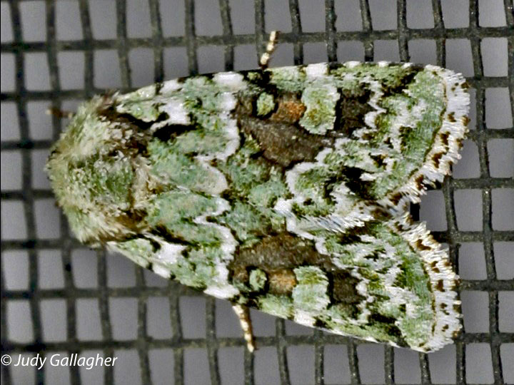 Yellow-striped Armyworm Moth