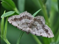 Faint-spotted Angle Moth