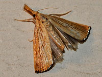 Feather Duster Moth