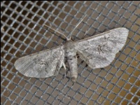 Fine-lined Gray Moth
