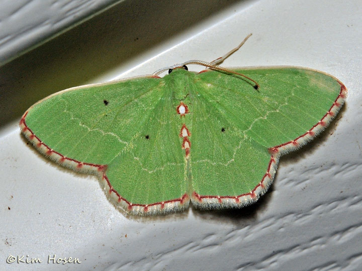 Red-bordered Emerald